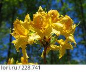 Купить «Цветы рододендрона», фото № 228741, снято 10 мая 2007 г. (c) Илья Троицкий / Фотобанк Лори