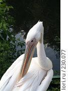 Купить «Пеликан чистит свои перья», фото № 230077, снято 11 июля 2007 г. (c) Карасева Екатерина Олеговна / Фотобанк Лори