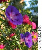 Купить «Ипомея», фото № 232105, снято 12 сентября 2006 г. (c) Игорь Струков / Фотобанк Лори