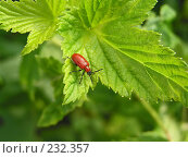Купить «Лилейная трещалка (Lilioceris lilii)», фото № 232357, снято 21 июля 2007 г. (c) ikheid / Фотобанк Лори
