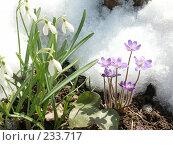 Купить «Подснежники», фото № 233717, снято 20 апреля 2004 г. (c) VPutnik / Фотобанк Лори