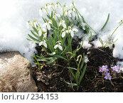 Купить «Подснежники», фото № 234153, снято 13 апреля 2005 г. (c) VPutnik / Фотобанк Лори