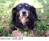 Купить «Собака», фото № 235201, снято 16 августа 2018 г. (c) griFFon / Фотобанк Лори