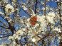 Весна. Алыча цветет, фото № 235829, снято 16 апреля 2007 г. (c) Александр Новиков / Фотобанк Лори
