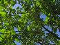 Яблони на фоне голубого неба, урожай яблок, фото № 236125, снято 29 июля 2007 г. (c) Ольга Хорькова / Фотобанк Лори