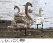 Купить «Лебеди у реки», фото № 236489, снято 17 марта 2008 г. (c) Юлия Селезнева / Фотобанк Лори