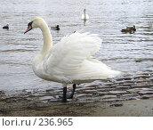 Купить «Лебедь у реки», фото № 236965, снято 17 марта 2008 г. (c) Юлия Селезнева / Фотобанк Лори