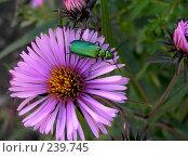 Купить «Зеленый жук на цветке», фото № 239745, снято 30 января 2004 г. (c) ikheid / Фотобанк Лори