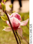 Купить «Магнолия», фото № 240325, снято 24 марта 2008 г. (c) Лифанцева Елена / Фотобанк Лори