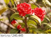 Купить «Камелия», фото № 240445, снято 24 марта 2008 г. (c) Лифанцева Елена / Фотобанк Лори
