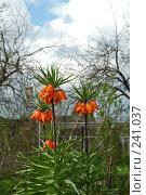 Купить «Рябчик императорский (Fritillaria imperialis) в весеннем саду», фото № 241037, снято 14 мая 2005 г. (c) Ольга Дроздова / Фотобанк Лори
