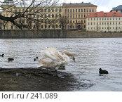 Купить «Лебедь у реки», фото № 241089, снято 17 марта 2008 г. (c) Юлия Селезнева / Фотобанк Лори