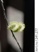 Купить «Весна, цветение вербы», фото № 241277, снято 27 марта 2008 г. (c) Demyanyuk Kateryna / Фотобанк Лори