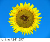 Купить «Желтій подсолнух на голубом поле», фото № 241597, снято 30 июля 2007 г. (c) Dmitriy Andrushchenko / Фотобанк Лори