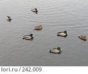 Купить «Утки на серой воде», фото № 242009, снято 8 марта 2008 г. (c) Юлия Селезнева / Фотобанк Лори