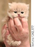 Купить «Взгляд маленького симпатичного пушистого котенка», фото № 242377, снято 14 марта 2008 г. (c) Останина Екатерина / Фотобанк Лори