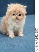 Купить «Взгляд маленького симпатичного пушистого котенка», фото № 242397, снято 18 марта 2008 г. (c) Останина Екатерина / Фотобанк Лори