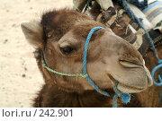 Купить «Верблюд», фото № 242901, снято 13 июня 2006 г. (c) Ирина Игумнова / Фотобанк Лори