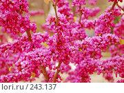 Купить «Цветущий кустарник», фото № 243137, снято 20 апреля 2018 г. (c) Лифанцева Елена / Фотобанк Лори