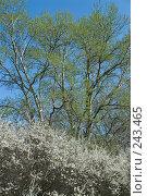 Купить «Цветение тёрна и серебристого тополя», фото № 243465, снято 4 апреля 2008 г. (c) Федор Королевский / Фотобанк Лори