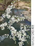 Купить «Ветка цветущего тёрна на фоне реки», фото № 243469, снято 4 апреля 2008 г. (c) Федор Королевский / Фотобанк Лори