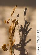 Купить «Стебли спелой пшеницы в лучах заходящего осеннего теплого солнца», фото № 243617, снято 9 января 2008 г. (c) Harry / Фотобанк Лори