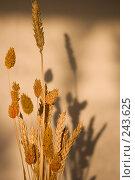 Купить «Стебли спелой пшеницы в лучах заходящего осеннего теплого солнца», фото № 243625, снято 9 января 2008 г. (c) Harry / Фотобанк Лори