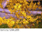 Купить «Форзиция», фото № 244289, снято 23 марта 2008 г. (c) Лифанцева Елена / Фотобанк Лори