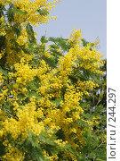 Купить «Мимоза», фото № 244297, снято 24 марта 2008 г. (c) Лифанцева Елена / Фотобанк Лори