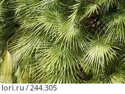 Купить «Пальмовые листья», фото № 244305, снято 24 марта 2008 г. (c) Лифанцева Елена / Фотобанк Лори