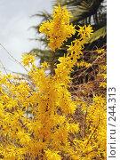 Купить «Форзиция», фото № 244313, снято 24 марта 2008 г. (c) Лифанцева Елена / Фотобанк Лори