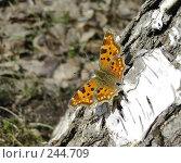 Купить «Бабочка Углокрыльница - греется на солнышке», фото № 244709, снято 4 апреля 2008 г. (c) ikheid / Фотобанк Лори