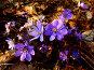 Первоцвет.Печеночница благородная (Hepatica nobilis), фото № 245489, снято 5 апреля 2008 г. (c) Sergey Toronto / Фотобанк Лори