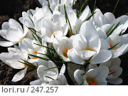 Белые крокусы, шафран (crocus) Стоковое фото, фотограф Александр Леденев / Фотобанк Лори