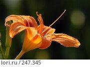 Купить «Цветок лилии», фото № 247345, снято 25 июня 2006 г. (c) Виктор Филиппович Погонцев / Фотобанк Лори