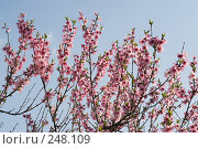 Купить «Цветение персика», фото № 248109, снято 10 апреля 2008 г. (c) Федор Королевский / Фотобанк Лори