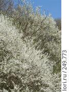 Купить «Цветущие деревья - терн и на заднем плане алыча», фото № 249773, снято 12 апреля 2008 г. (c) Федор Королевский / Фотобанк Лори