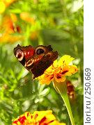 Купить «Бабочка на цветке», фото № 250669, снято 19 августа 2005 г. (c) Юлия Подгорная / Фотобанк Лори