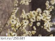 Купить «Цветущая ива», фото № 250681, снято 13 апреля 2008 г. (c) Андрей Ерофеев / Фотобанк Лори