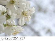 Купить «Цветущий абрикос на фоне неба», фото № 251737, снято 12 апреля 2008 г. (c) Юлия Нечепуренко / Фотобанк Лори