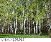 Купить «Весенние берёзы», фото № 256025, снято 12 апреля 2008 г. (c) Карелин Д.А. / Фотобанк Лори