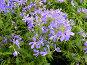 Барвинок травянистый (VINCA), эксклюзивное фото № 257041, снято 16 апреля 2008 г. (c) lana1501 / Фотобанк Лори