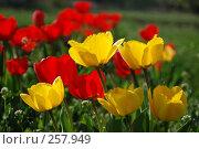 Купить «Тюльпаны на лугу», фото № 257949, снято 19 сентября 2018 г. (c) Игорь Струков / Фотобанк Лори