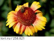 Купить «Цветок с пчелой», фото № 258821, снято 11 июня 2007 г. (c) Минаев Сергей / Фотобанк Лори