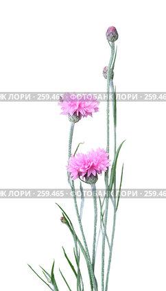 Купить «Розовая гвоздика на белом фоне», фото № 259465, снято 26 апреля 2018 г. (c) Елена Блохина / Фотобанк Лори