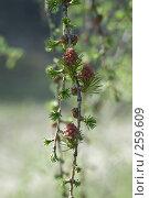 Купить «Ветка лиственницы с молодыми шишками», фото № 259609, снято 20 апреля 2008 г. (c) Игорь Момот / Фотобанк Лори