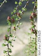 Купить «Молодые ветки лиственницы», фото № 259625, снято 20 апреля 2008 г. (c) Игорь Момот / Фотобанк Лори