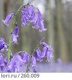 Купить «Дикие гиацинты (bluebells)», фото № 260009, снято 23 апреля 2008 г. (c) Tamara Kulikova / Фотобанк Лори
