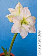 Купить «Белый цветок  Амариллиса», фото № 261609, снято 24 апреля 2008 г. (c) Светлана Силецкая / Фотобанк Лори