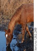 Купить «Голова коня, который пьет из лужи», фото № 262249, снято 6 ноября 2004 г. (c) Виктор Филиппович Погонцев / Фотобанк Лори